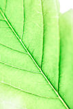 Cannabis leaf detail Royalty Free Stock Image