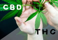 Cannabis leaf in hands with main cannabinoids text overlay, cbd vs. thc concept. Cannabis leaf in hands with main cannabinoids CBD and THC text overlay stock illustration