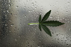 Leaf of marijuana Hemp stuck adhered to a wet fogged window glass against the backdrop of the city. Hemp leaf adhering to wet glass Royalty Free Stock Photography