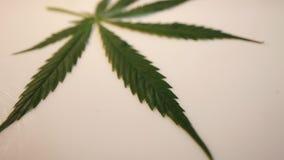 Cannabis leaf hemp movement camera video