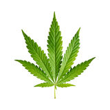 Cannabis. Leaf isolated on white background Stock Image