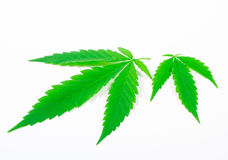 Cannabis leaf isolated on white. Close Up. Royalty Free Stock Photo
