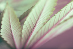 Cannabis leaf. Macro of green Cannabis leaf Royalty Free Stock Photos