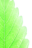 Cannabis leaf Royalty Free Stock Photo