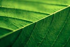 Cannabis leaf. Macro of green Cannabis leaf Royalty Free Stock Photo