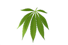 Cannabis leaf, marijuana isolated. Over white background Royalty Free Stock Photography