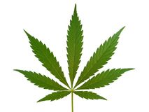Cannabis leaf, marijuana leaf. Isolated on white stock images