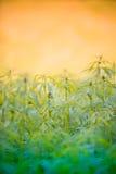 Cannabis leaf, marijuana plant stock photo