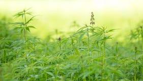 Cannabis leaf, marijuana plant Stock Photos