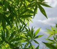 Cannabis leaf, marijuana plant royalty free stock photos