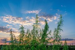 Cannabis leaf, medical marijuana. Cannabis flowers and seeds in green field with back light. Marijuana plant leaves growing high. royalty free stock images