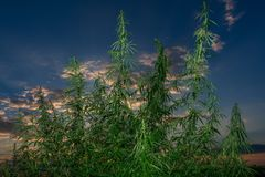 Cannabis leaf, medical marijuana. Cannabis flowers and seeds in green field with back light. Marijuana plant leaves growing high stock photo