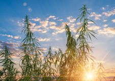 Cannabis leaf, medical marijuana. Cannabis flowers and seeds in green field with back light. Marijuana plant leaves growing high stock photography