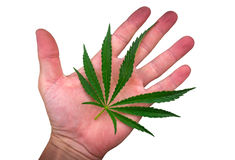 Cannabis leaf on the palm isolated on the white . marijuana Royalty Free Stock Photography