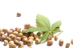 Cannabis Leaf with Seeds. Cannabis, hemp, or marijuana leaf with seeds on white background Stock Images