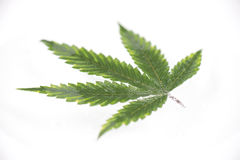 Cannabis leaf with visible veins and partially underwater over w. Macro detail of cannabis leaf with visible veins and partially underwater floating over white stock photography