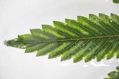 Cannabis leaf with visible veins and partially underwater over w Stock Photo