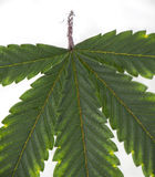 Cannabis leaf with visible veins and partially underwater over w Royalty Free Stock Photography