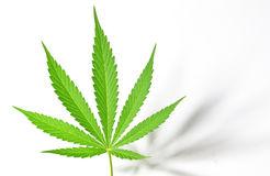Cannabis Leaf on White Royalty Free Stock Photo