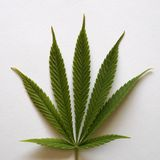 Cannabis leaf on white background. With light shadow stock photo