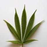Cannabis leaf on white background Stock Photo