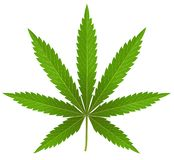 Cannabis Leaf on white. stock image