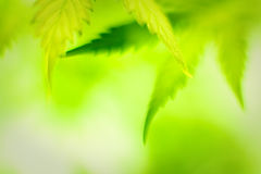 Cannabis leafs. Defocused abstract shot Stock Photo