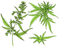 Cannabis leafs vector Stock Image