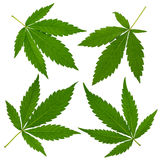 Cannabis leafs Stock Image