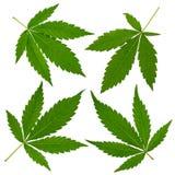 Cannabis leafs Stock Image