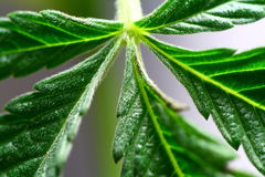 Cannabis Leaves. Close up on cannabis sativa leaves Royalty Free Stock Photography