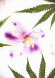 Cannabis leaves and dried pink orquid petals isolated over white Stock Photos