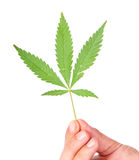 Cannabis leaves in a hand Stock Photos
