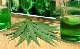 Cannabis leaves in laboratory Royalty Free Stock Photography