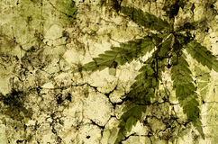 Cannabis leaves over green grunge texture Stock Images