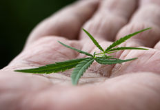 Cannabis leaves on palm Royalty Free Stock Photo