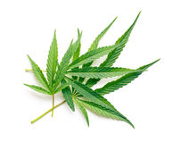 Cannabis leaves Stock Photography