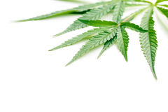 Cannabis leaves. On white background Royalty Free Stock Image