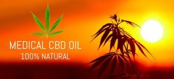 Cannabis médico superior crescente, produtos do cânhamo do óleo de CBD Marijuana natural Receita do cannabis para o uso pessoal,  imagem de stock royalty free