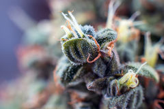 Cannabis macro trichomes background flower plant marijuana Stock Photography
