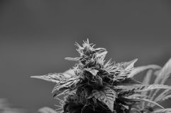 Cannabis Marijuana Bud. Closeup bud hairs trichromes Stock Photography