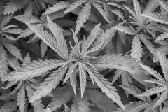 Cannabis marijuana leaf closeup background. Nature background. Black and white stock image