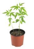 Cannabis, marijuana, piante su un fondo bianco immagine stock libera da diritti