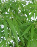Cannabis (marijuana) plant. Stock Photo