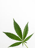 Cannabis plant detail Royalty Free Stock Photo