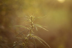 Cannabis (marijuana) plant Royalty Free Stock Image