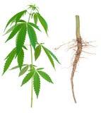 Cannabis med en rota Arkivbilder