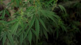 The cannabis in natural conditions. Leaves of hemp with a smoke.  stock footage
