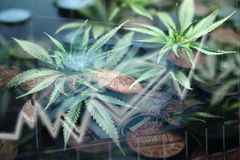 Cannabis Penny Stocks Growing In Bull Market. Stock Photo stock photo