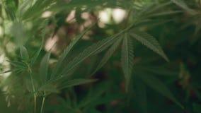 Cannabis, pianta di marijuana stock footage